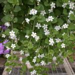 Bacopa Flowers