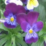 Field Pansy Flowers