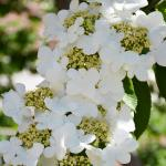 Doublefile viburnum flower
