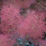 Cotinus coggygria flower panicle