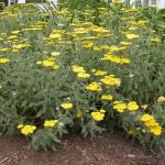 Yarrow Plant Habit Growth