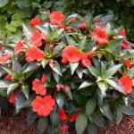 New Guniea Impatiens Plant Habit Growth
