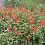 Texas Sage Plant Habit Growth