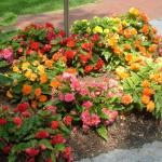 Tuberous-rooted Begonia Landscape Uses