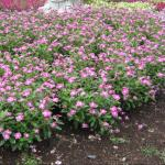 Annual Vinca Landscape Uses