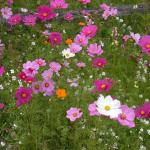 Pink Cosmos Landscape Uses