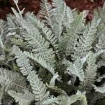 Yarrow Leaves