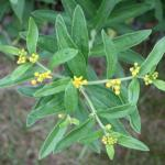 Butterfly-Weed Leaves