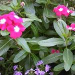 Annual Vinca Leaves