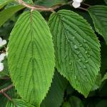 Doublefile viburnum leaves