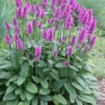 Stachys monieri 'Common Betony'