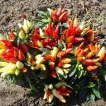 Ornamental Pepper Hocus Pocus