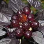 Ornamental Pepper Black Pearl