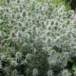 Sea Holly 'White Glitter'