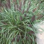 Fountain Grass 'Moudri Black'