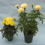 American Marigold First Lady and Snowdrift