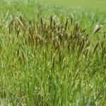 Growth Habit of Sweet Vernalgrass