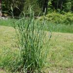 Culms of Orchardgrass