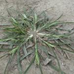 Culms of Goosegrass