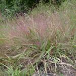 Culms of Purple Lovegrass