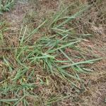 Culms of tall fescue