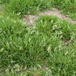 Culms of Annual Bluegrass