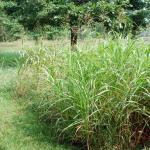 Culms of Johnsongrass