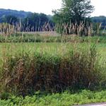 Culms of Reed Canarygrass