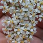 Flowers of Yarrow