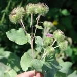 Flowers of Great Burdock