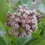 Flowers of Common Milkweed