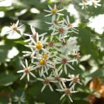 Flowers of White Wood Aster
