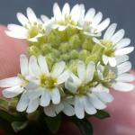 Flowers of Hoary Alyssum
