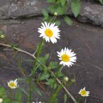 Flowers of Oxeye Daisy