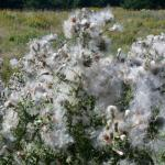 Flowers of Canada Thistle