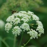 Flowers of Spotted Waterhemlock