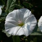 Flowers of Field Bindweed