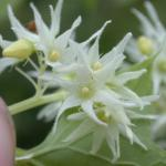 Flowers of Wild Cucumber