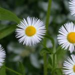 Flowers of Annual Fleabane