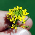 Flowers of Wallflower Mustard