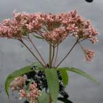 Flowers of Spotted Joe-Pye Weed