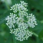 Flowers of Boneset