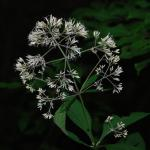 Flowers of Sweet Joe-Pye Weed