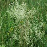 Flowers of Smooth Bedstraw