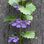 Flowers of Ground Ivy