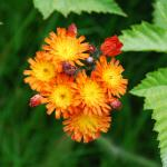 Flowers of Orange Hawkweed