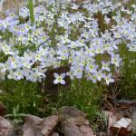 Flowers of Bluets