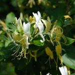 Flowers of Japanese Honeysuckle
