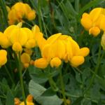 Flowers of Birdfoot Trefoil