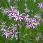 Flowers of Ragged Robin